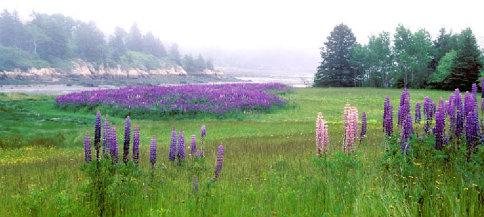 Purple Field 484